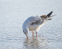 Питьевая вода чайки в море Стоковые Изображения RF