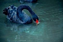 Питьевая вода черного лебедя в реке Стоковые Изображения