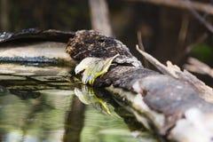 Питьевая вода Canaries Стоковые Изображения