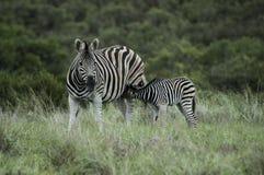 Питьевое молоко младенца зебры на матери Стоковое Фото