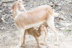 Питьевое молоко козы младенца от козы матери Стоковая Фотография