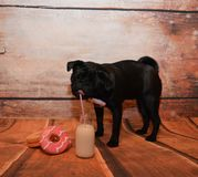 Питьевое молоко собаки мопса Стоковая Фотография RF
