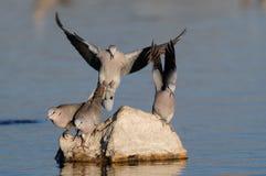 Питье на waterhole, nationalpark голубя черепахи накидки etosha, Намибия Стоковая Фотография RF