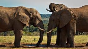 Питье - слон Буша африканца Стоковое Изображение RF