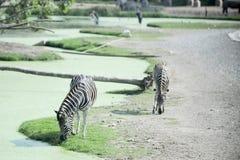 питье 2 мочит зебру Стоковое Изображение