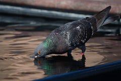 Пить голубя в фонтане города Стоковые Изображения RF