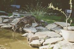 Пить кота Стоковая Фотография