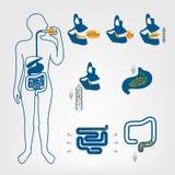 Пищеварительная система людей бесплатная иллюстрация