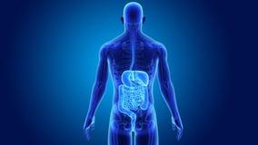 Пищеварительная система с скелетом иллюстрация вектора