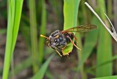 Пилильщик насекомого (Tenthredinidae) 9 Стоковое Фото
