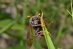 Пилильщик насекомого (Tenthredinidae) 10 Стоковое Изображение RF