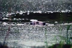 плавание бобра через пруд стоковое изображение
