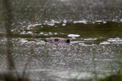 плавание бобра через пруд стоковое фото