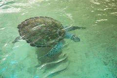 Плавание морской черепахи в бассейне на зоопарке стоковые фото