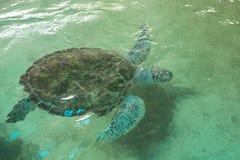 Плавание морской черепахи в бассейне на зоопарке стоковые изображения