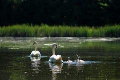 Плавание семьи Стоковая Фотография RF