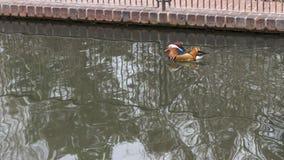 Плавание утки мандарина стоковая фотография rf