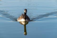 Плавание canadensis чёрной казарки гусыни Канады на спокойном озере с отражением стоковые фото