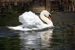 Плавать в лебедя белизны пруда Стоковая Фотография RF