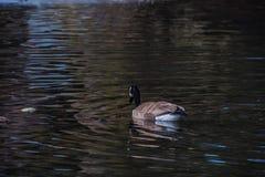 Плавать гусыни Канады стоковые фотографии rf