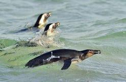 Плавать и скакать из пингвина африканца воды Стоковые Фото