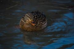 Плавать кряквы стоковое изображение