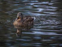 Плавать кряквы Стоковая Фотография