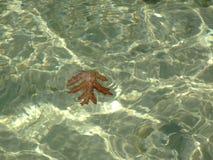 Плавать лист дуба Брайна стоковые фотографии rf