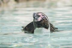 Плавать пингвина Гумбольдта внешний Стоковое фото RF