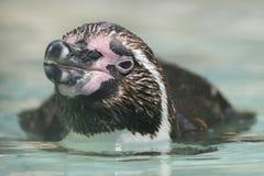 Плавать пингвина Гумбольдта внешний Стоковая Фотография