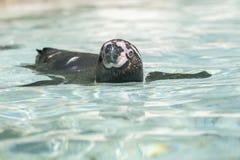 Плавать пингвина Гумбольдта внешний Стоковое Изображение