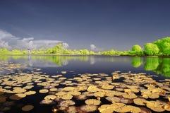 Плавать lilly стоковая фотография