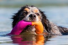 Плавая австралийский чабан с игрушкой стоковая фотография