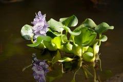 плавая вода гиацинта Стоковое Изображение