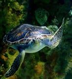 ПЛАВАЯ зеленая морская черепаха Стоковое фото RF