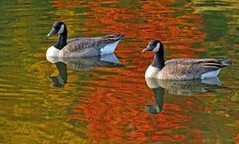 Плавая канадские гусыни Стоковые Фото