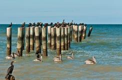 плавая коричневые пеликаны и отдыхая двух-crested бакланы на деревянных штабелевках стоковое изображение rf