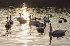 Плавая лебеди и утки. Стоковое Изображение