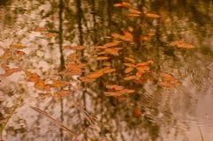 Плавая листья Стоковое Изображение