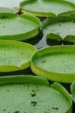 плавая лотос Стоковая Фотография