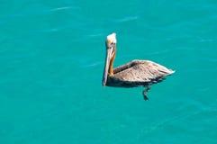 плавая пеликан Стоковое фото RF