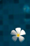 Плавая plumeria Стоковые Фото