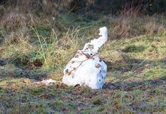 Плавя снеговик в Нидерландах стоковое фото