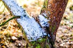 Плавя снег на зеленой и коричневой коре дерева Стоковая Фотография RF