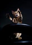 плакать кота Стоковая Фотография