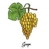 Плакат покрашенной вектором виноградины каллиграфии белой стоковое изображение