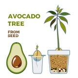 Плакат проводника вектора дерева авокадоа растя Зеленая простая инструкция вырасти дерево авокадоа от семени Жизненный цикл авока иллюстрация вектора