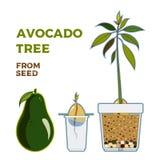 Плакат проводника вектора дерева авокадоа растя Зеленая простая инструкция вырасти дерево авокадоа от семени Жизненный цикл авока иллюстрация штока