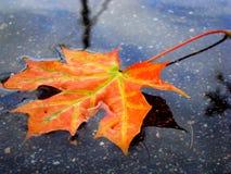 Пламенистые красные лист на фоне воды Стоковые Изображения RF