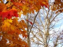 Пламенистый красный огонь лист клена и березы Стоковое Фото